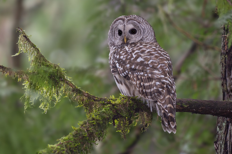Barred Owl - That time of year when the Barred Owls are staking their territory.  Came across two separate pairs along a 1km trail.  Such amazing opportunists as pretty as they are to photograph in the mossy older growth forests its a bad sign for our smaller native west coast owls.