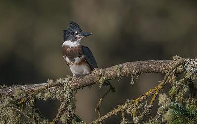 Kingfisher, female