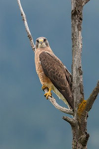 "Swainson""s Hawk"
