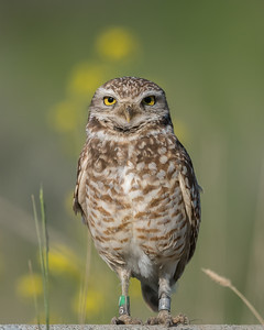 Meet V56 a Burrowing Owl
