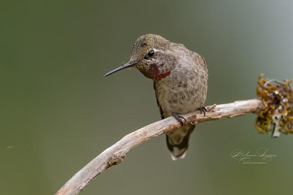 Anna's Hummingbird Juvenile male