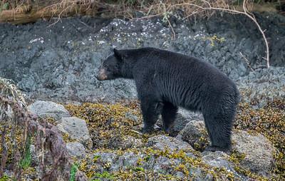 A little bear drama.