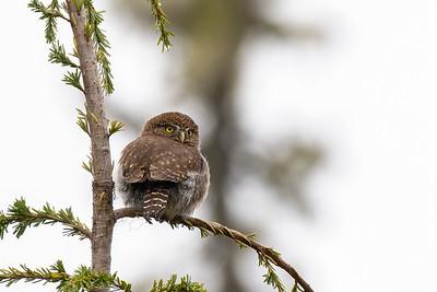 Vancouver Island Pygmy Owl
