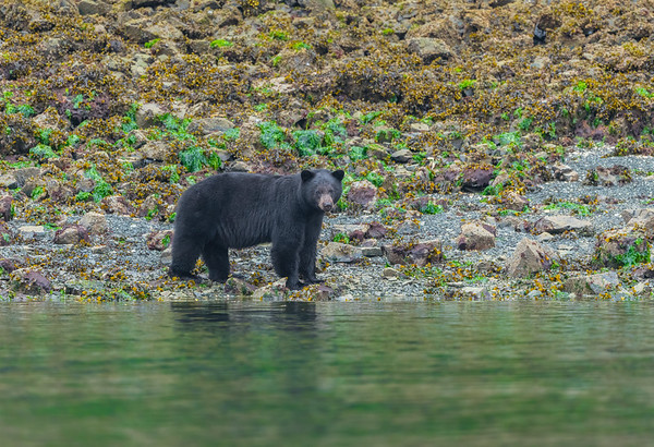Seaside Black Bear