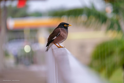 Common Myna Bird, South Florida
