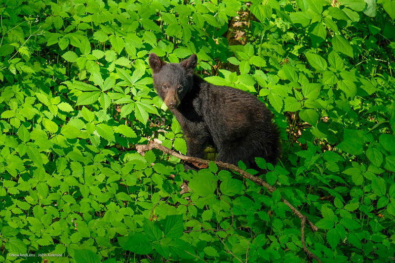 Bear cub, Great Smokey Mts NP