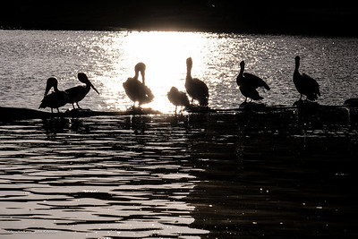 Pelicans Silhouette