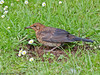 14 July 2011. Juvenile Blackbird at Widley. Copyright Peter Drury 2011