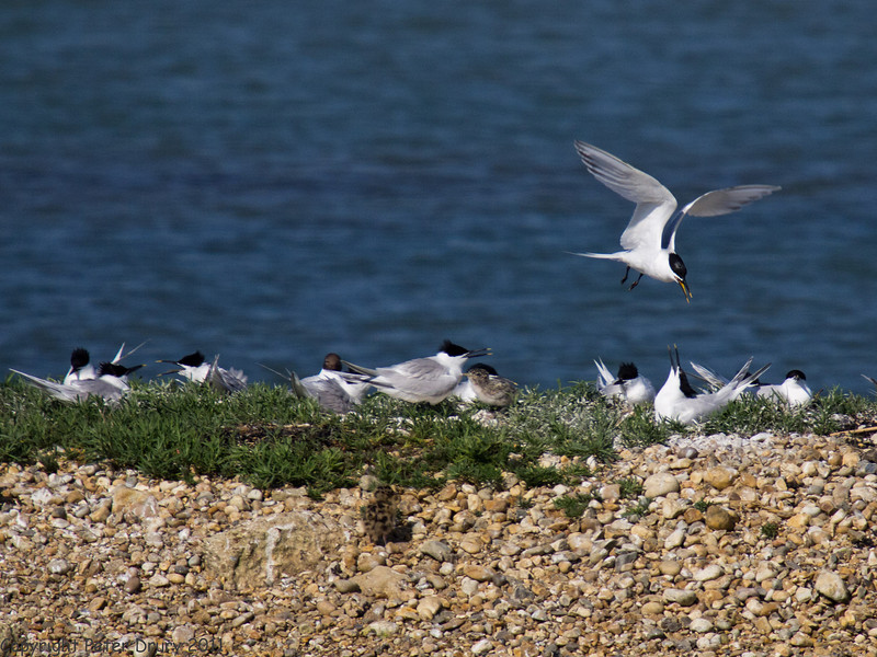 02 Jun 2011. Sandwich Tern on North Island. Copyright Peter Drury 2011.<br /> The first chick that I have seen from this colony of Sandwich Tern can be seen just off-centre of the image.
