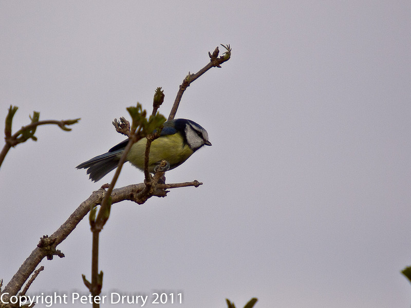 06 March 2011. Blue tit at the Oysterbeds. Copyright Peter Drury 2011