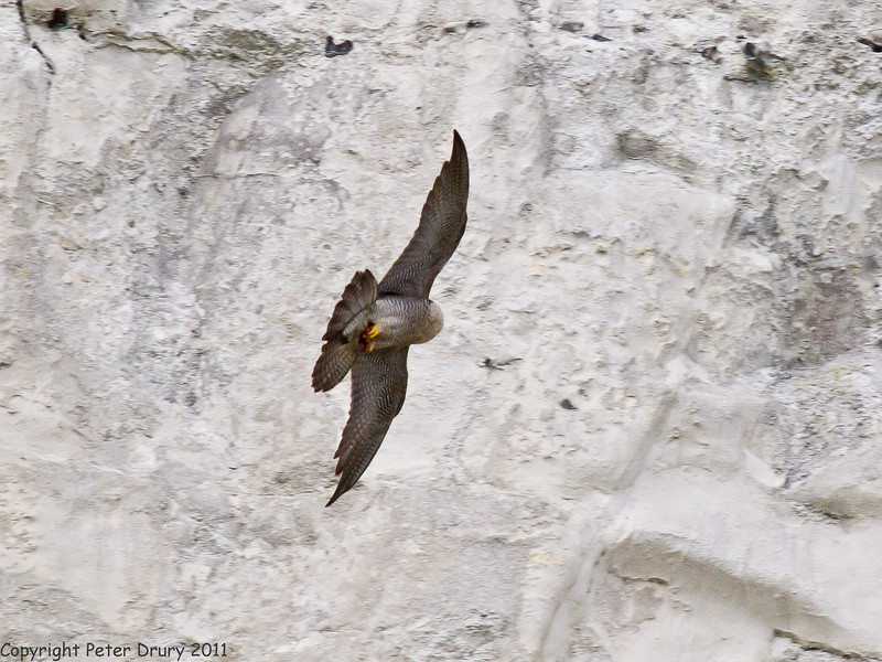 15 April 2011. Peregrine Falcon flying back to the nest site.  Copyright Peter Drury 2011