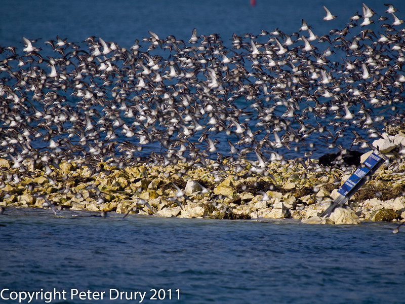 17 February 2011. Dunlin in flight on the south west side of the oysterbed lagoon. Copyright Peter Drury 2011