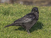 02 February 2012 Carrion Crow on Portsdown Hill