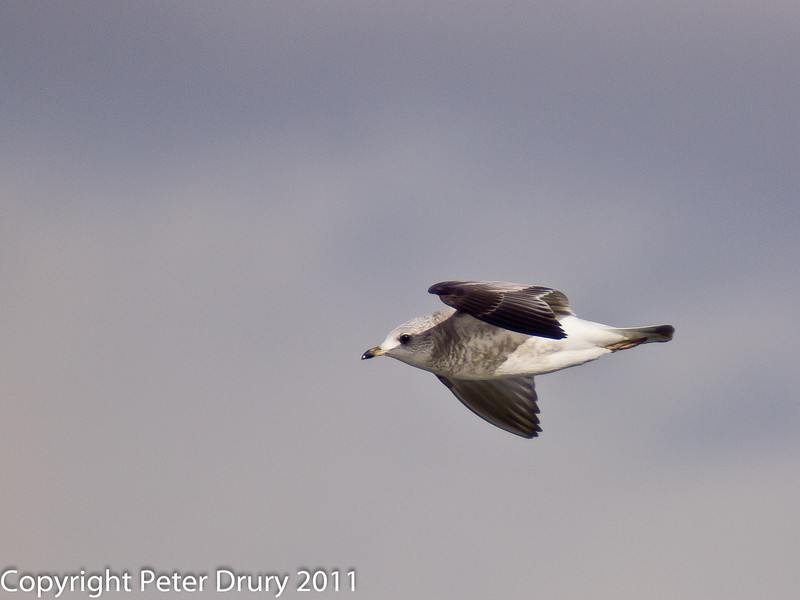 12 February 2011. First winter Common Gull at the Oysterbeds. Copyright Peter Drury 2011