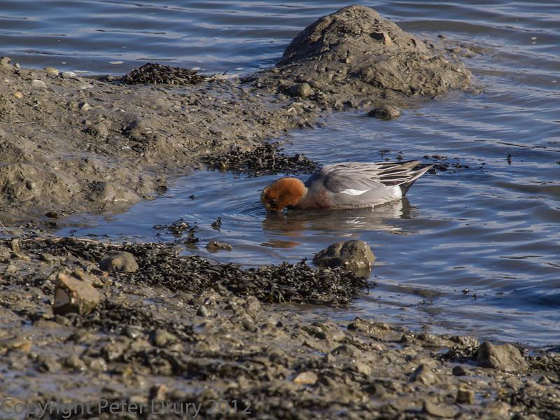 15 Feb 2012 Male Widgeon feeding at waters edge, Broafmarsh