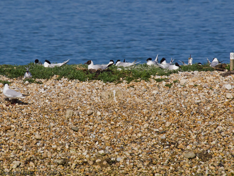 19 May 2011. Sandwich Tern at the oysterbeds. Copyright Peter Drury 2011