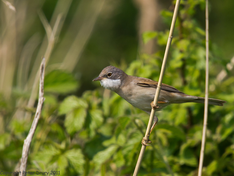 24 April 2011. White Throat at the Oysterbeds. Copyright Peter Drury 2011