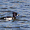 Male Tufted Duck at Milton Common