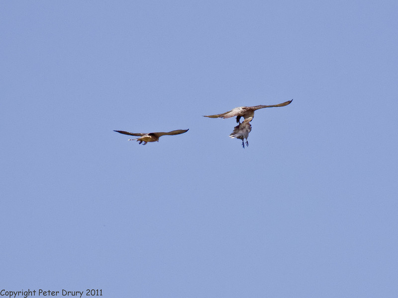 30 June 2011. Peregrine Falcons at the Chalk Quarry. Copyright Peter Drury 2011