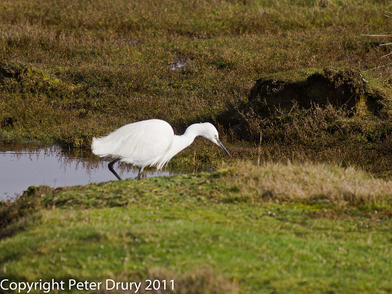 17 February 2011. Little Egret feeding in the marshland at the northern end of the Hayling Billy trail. Copyright Peter Drury 2011