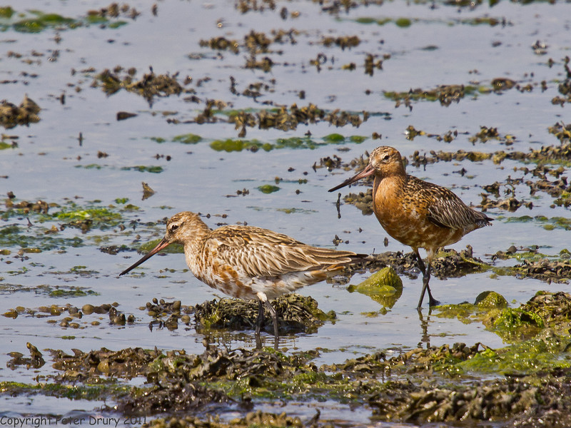 28 April 2011. Bar-tailed Godwit at the Oysterbeds. Copyright Peter Drury 2011