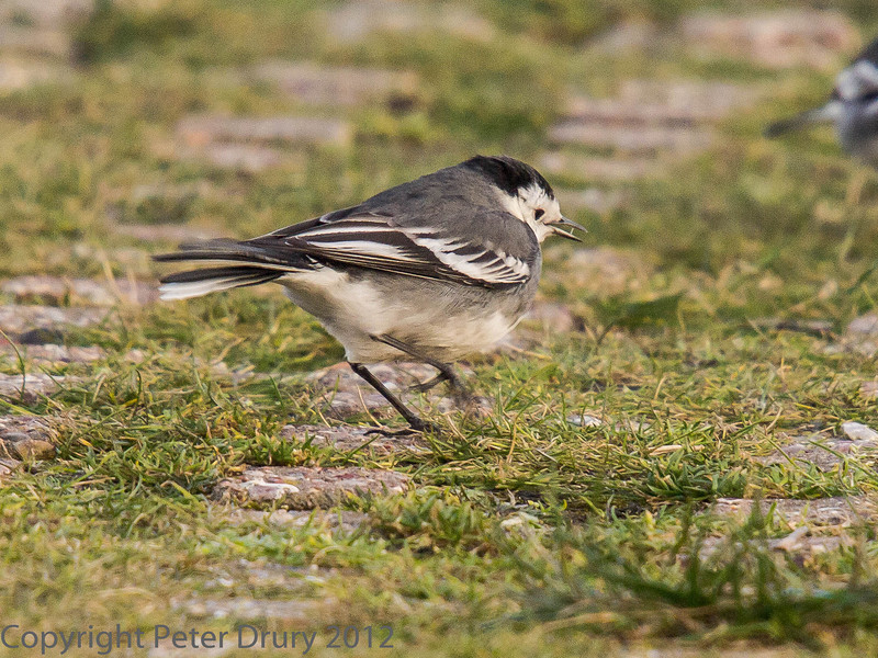 10 Feb 2010 Pied Wagtail at the slipway at Broadmarsh.