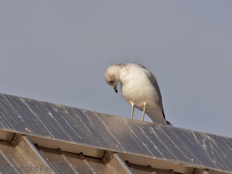 16 Oct 2011 Herring Gull near to the Mountbatten Centre, Portsmouth.