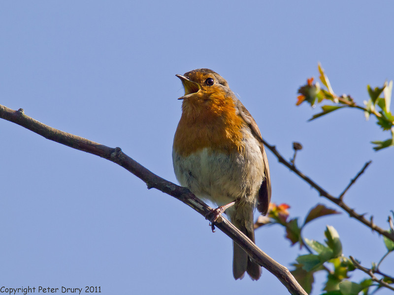 10 May 2011. Robin at the Oysterbeds. Copyright Peter Drury 2011
