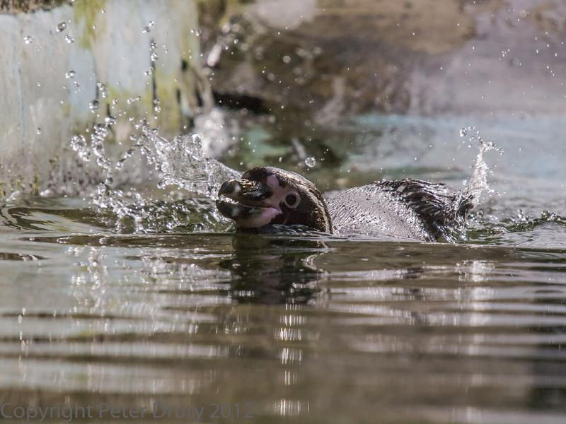 Humboldt Penguin at Birdworld, Farnham