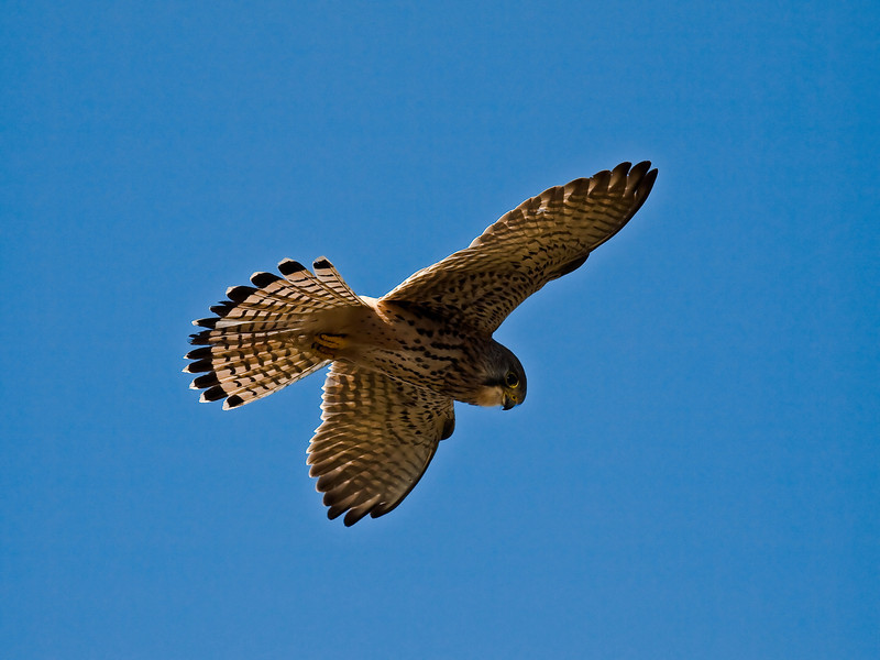 Kestrel (Falco tinnunculus. Copyright Peter Drury 2010