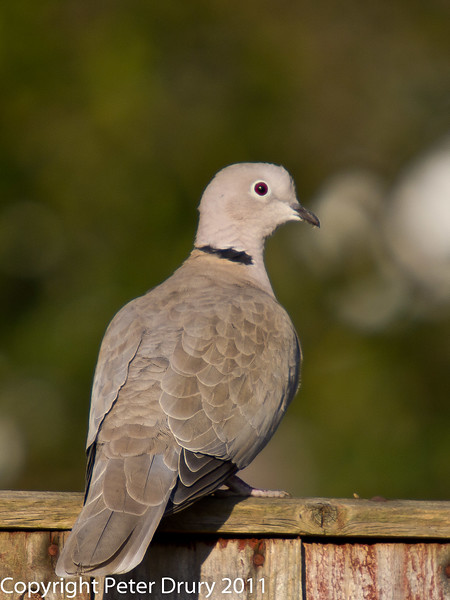 17 February 2011. Collared Dove. Copyright Peter Drury 2011