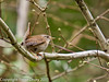 16 March 2011. Wren in the Queens Inclosure.  Copyright Peter Drury 2011