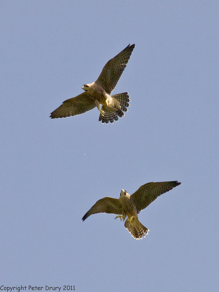 27 June 2011. Peregrine Falcon at the Chalk Quarry. Copyright Peter Drury 2011<br /> The two fledglings practising their flight skills against one-another.