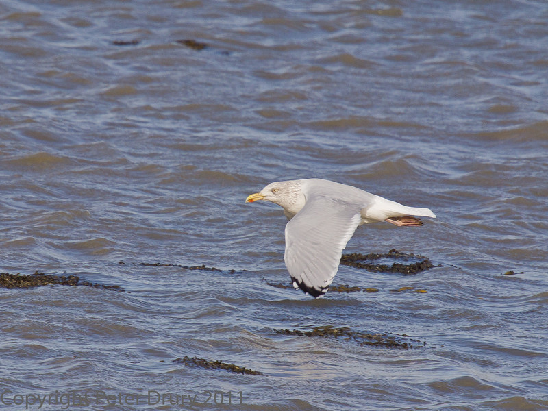 18 Oct 2011 Herring Gull at West Hayling LNR.