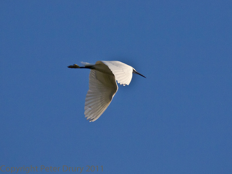 27 Nov 2011 Little Egret over Southmoor.