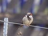 House Sparrow near railway at Church Fenton, North Yorkshire