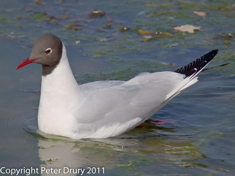 21 March 2011. Black-headed Gull between the bridges.  Copyright Peter Drury 2011