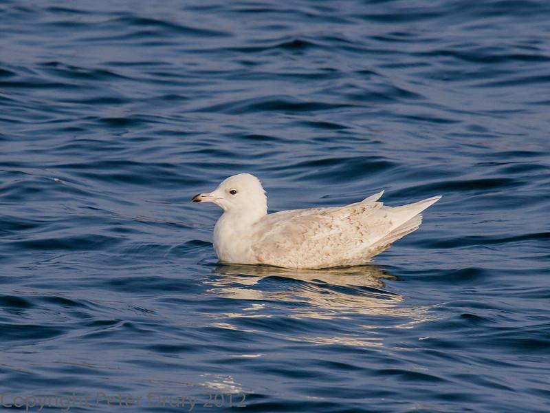 14 March 2012 Iceland Gull at Broadmarsh.