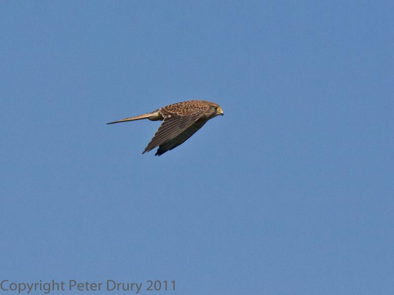 02 Oct 2011 Kestrel at Farlington Marshes