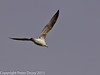 06 March 2011. Herring Gull over the lagoon. Copyright Peter Drury 2011