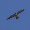 22 June 2013 Female Peregrine in flight above the quarry.