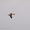 11 March 2011. Shelduck at Keyhaven.  Copyright Peter Drury 2011