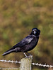 04 March 2011. Carrion Crow at Southmoor. Copyright Peter Drury 2011