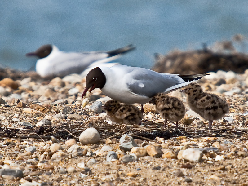 5 day old Black-headed Gull chicks being fed. Copyright Peter Drury 2010