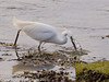 13 March 2011. Little Egret in the old Oysterbeds.  Copyright Peter Drury 2011