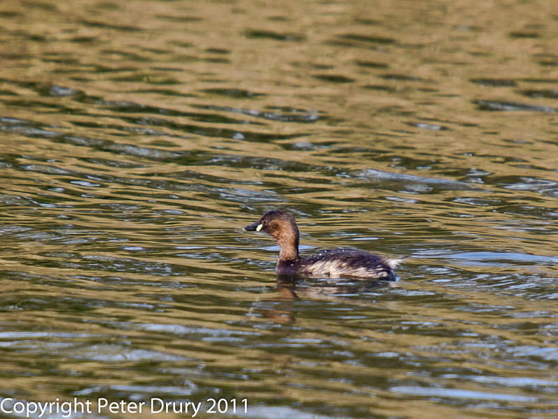 16 February 2011. Little Grebe on Hilsea Lakes. Copyright Peter Drury 2011