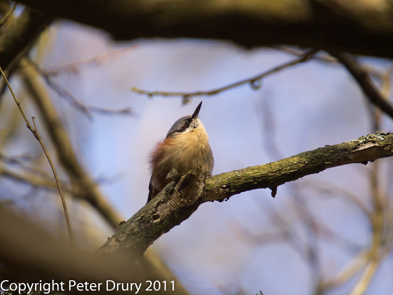 08 March 2011. Nuthatch in the Queens enclosure, Cowplain. Copyright Peter Drury 2011