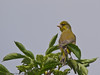 29 April 2011. Greenfinch at Milton Common. Copyright Peter Drury 2011