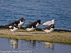 04 March 2011. Oystercatchers and Black-headed gull at their high water roost at Southmoor. Copyright Peter Drury 2011