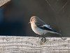 08 Aug 2010 - Pied Flycatcher (Ficedula hypoleuca) at North Hayling. Copyright Peter Drury 2010